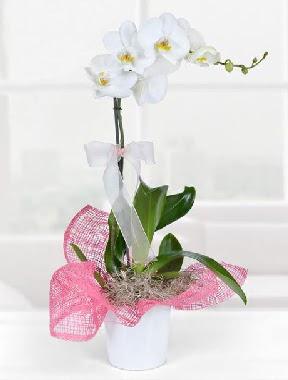 Tek dallı beyaz orkide seramik saksıda  Ankara Anadolu çiçek gönderme
