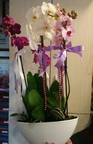 Mor ve beyaz ve pembe 6 dallı orkide  Ankara Anadolu ucuz çiçek gönder