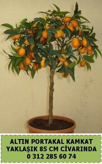 Altın portakal Kamkat ağacı bitkisi  Ankara Anadolu çiçek gönderme