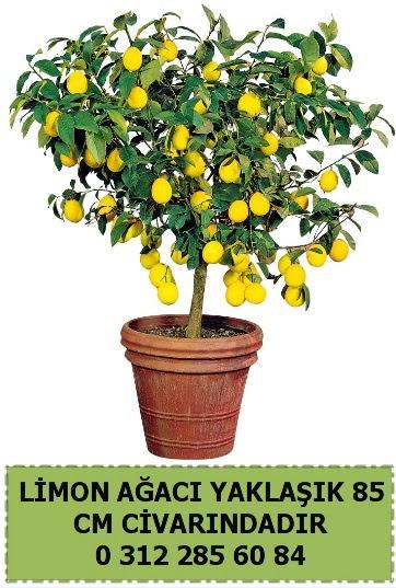 Limon ağacı bitkisi  Ankara Anadolu çiçek satışı