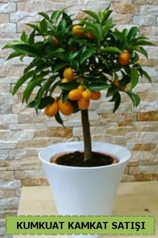 Kamkat 35 cm civarı kumkuat bitkisi  Ankara Anadolu çiçek gönderme