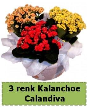 3 renk Kalanchoe Calandiva saksı bitkisi  Ankara Anadolu çiçek gönderme
