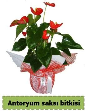 Antoryum saksı bitkisi büyük boy satışı  Ankara Anadolu çiçek , çiçekçi , çiçekçilik