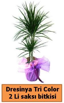 Dresinya Tri Color 2 li saksı bitkisi çiçeği  Ankara Anadolu çiçek satışı