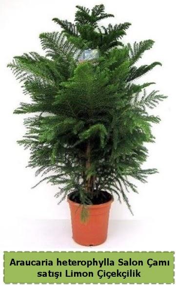 Salon Çamı Satışı Araucaria heterophylla  Ankara Anadolu çiçek satışı