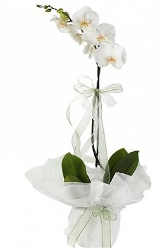 Tekli Beyaz Orkide  Ankara Anadolu hediye çiçek yolla