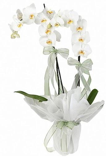 Çift Dallı Beyaz Orkide  Ankara Anadolu anneler günü çiçek yolla
