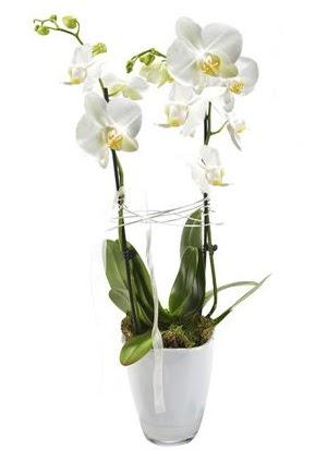 2 dallı beyaz seramik beyaz orkide saksısı  Ankara Anadolu çiçek gönderme sitemiz güvenlidir