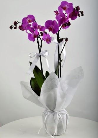 Çift dallı saksıda mor orkide çiçeği  Ankara Anadolu çiçek siparişi vermek