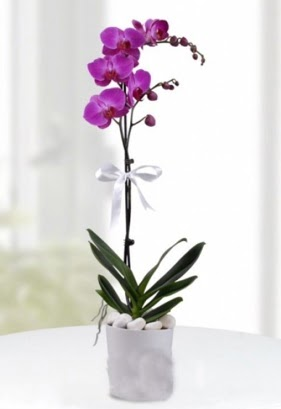 Tek dallı saksıda mor orkide çiçeği  Ankara Anadolu çiçekçiler