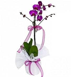Tek dallı saksıda ithal mor orkide çiçeği  Ankara Anadolu çiçekçiler