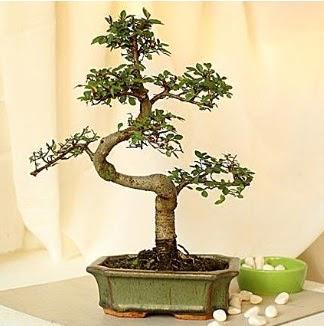 Shape S bonsai  Ankara Anadolu Anadolu İnternetten çiçek siparişi