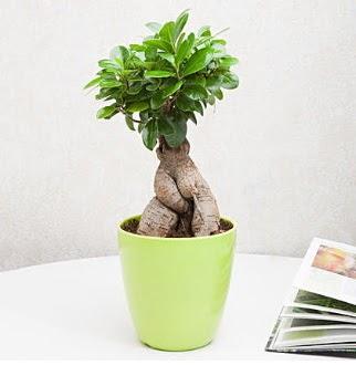 Ficus Ginseng Bonsai  Ankara Anadolu 14 şubat sevgililer günü çiçek