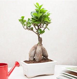 Exotic Ficus Bonsai ginseng  Ankara Anadolu çiçek servisi , çiçekçi adresleri
