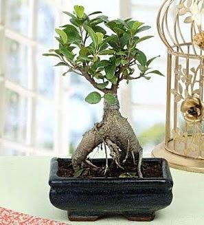 Appealing Ficus Ginseng Bonsai  Ankara Anadolu anneler günü çiçek yolla