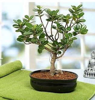 Lovely Ficus Iceland Bonsai  Ankara Anadolu anneler günü çiçek yolla
