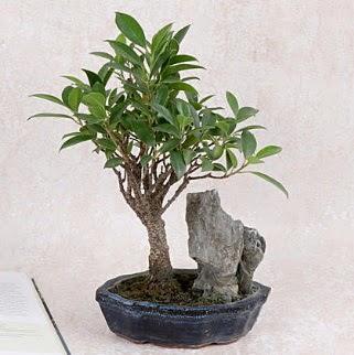 Japon ağacı Evergreen Ficus Bonsai  Ankara Anadolu çiçek gönderme sitemiz güvenlidir