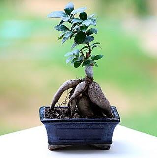 Marvellous Ficus Microcarpa ginseng bonsai  Ankara Anadolu çiçek siparişi vermek