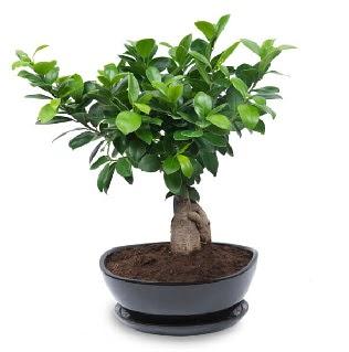 Ginseng bonsai ağacı özel ithal ürün  Ankara Anadolu internetten çiçek satışı