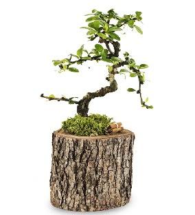 Doğal kütükte S bonsai ağacı  Ankara Anadolu çiçek satışı