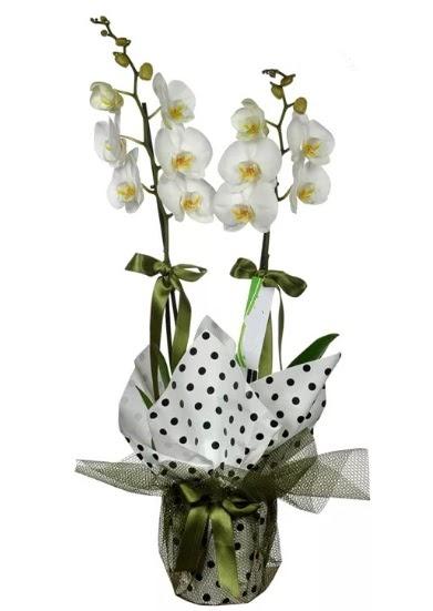 Çift Dallı Beyaz Orkide  Ankara Anadolu 14 şubat sevgililer günü çiçek