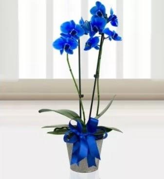 Çift dallı mavi orkide  Ankara Anadolu çiçek satışı