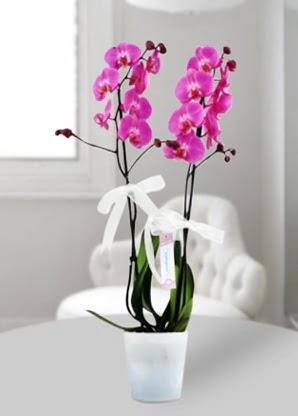 Çift dallı mor orkide  Ankara Anadolu çiçekçiler