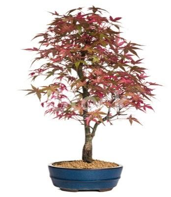 Akçaağaç bonsai süper bonsai ağacı  Ankara Anadolu cicek , cicekci