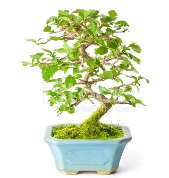 S zerkova bonsai kısa süreliğine  Ankara Anadolu Anadolu İnternetten çiçek siparişi