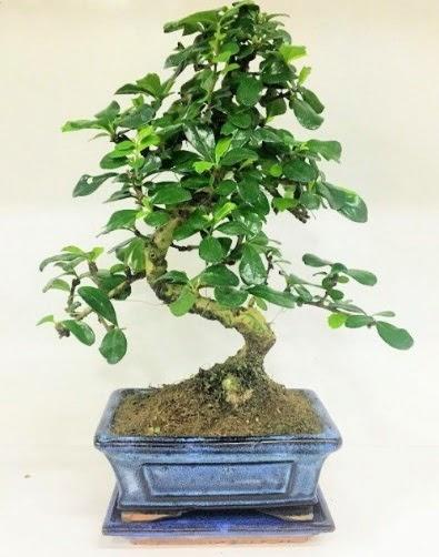 S Bonsai japon ağacı bitkisi  Ankara Anadolu uluslararası çiçek gönderme