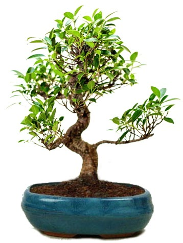 25 cm ile 30 cm aralığında Ficus S bonsai  Ankara Anadolu çiçek gönderme sitemiz güvenlidir