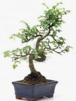 S gövde bonsai minyatür ağaç japon ağacı  Ankara Anadolu çiçek satışı