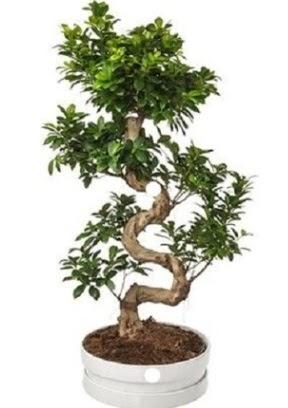 90 cm ile 100 cm civarı S peyzaj bonsai  Ankara Anadolu çiçek gönderme sitemiz güvenlidir