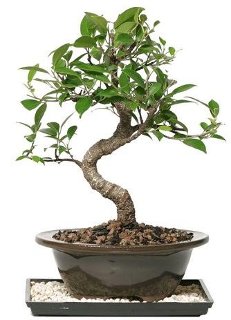 Altın kalite Ficus S bonsai  Ankara Anadolu çiçekçi telefonları  Süper Kalite