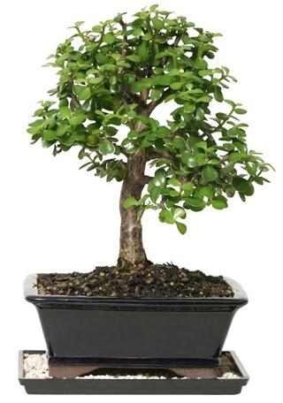 15 cm civarı Zerkova bonsai bitkisi  Ankara Anadolu çiçek siparişi sitesi