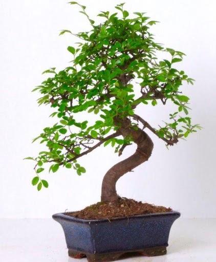 S gövdeli bonsai minyatür ağaç japon ağacı  Ankara Anadolu çiçek gönderme sitemiz güvenlidir