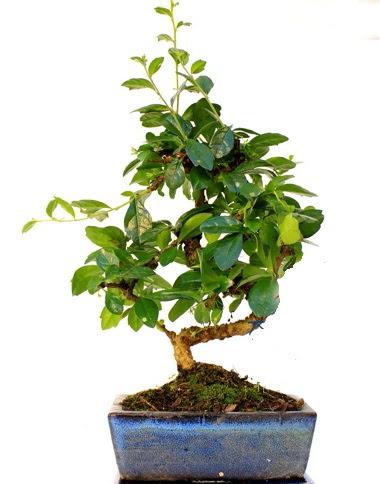 S gövdeli carmina bonsai ağacı  Ankara Anadolu çiçek yolla  Minyatür ağaç
