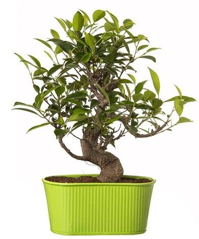Ficus S gövdeli muhteşem bonsai  Ankara Anadolu çiçek siparişi sitesi