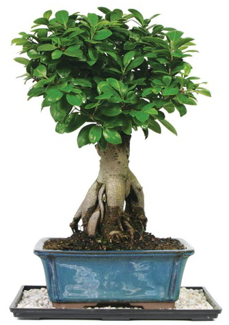 Bonsai Ginsing Grafted Ficus Bonsai  Ankara Anadolu çiçek yolla