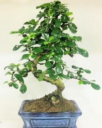 Zelkova S gövdeli Minyatür ağaç Bonzai  Ankara Anadolu çiçek gönderme