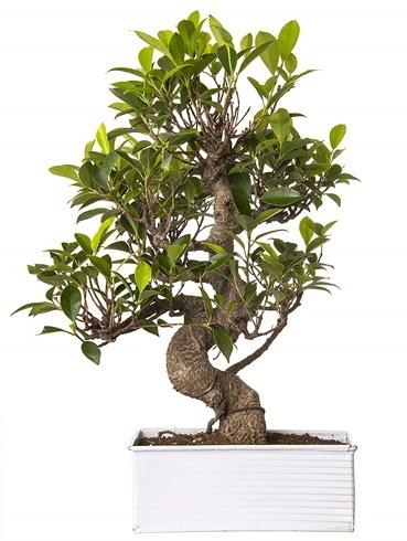 Exotic Green S Gövde 6 Year Ficus Bonsai  Ankara Anadolu çiçek gönderme sitemiz güvenlidir